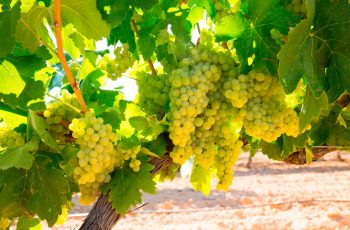 Chardonnay uva